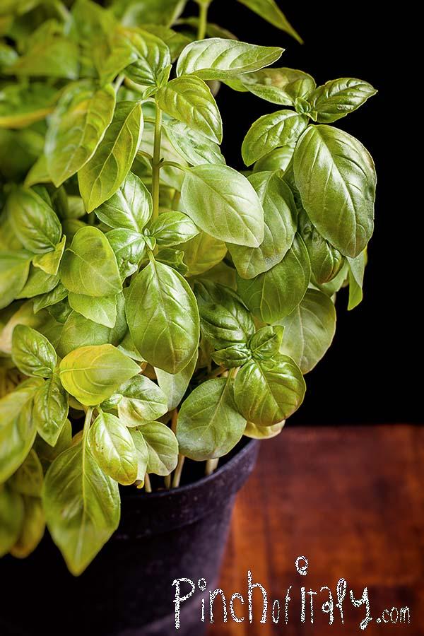 Fresh Basil Pot